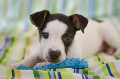 Jack Russell terrier puppy is lying on the bed with colorful linens Stock Photos