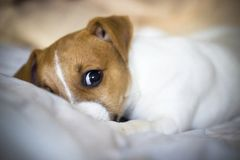 Jack Russell Terrier puppy lying on the bed. With sad eyes royalty free stock photo