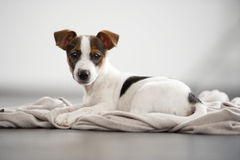Jack Russell Terrier puppy lying and watching. Stock Photo