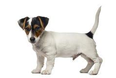 Jack Russell Terrier-puppy (2 maanden oud) royalty-vrije stock afbeelding