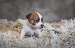 Jack Russell Terrier-puppy met vlekken op de snuit, die op een badstoftapijt zitten royalty-vrije stock foto