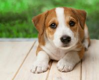Jack Russell Terrier puppy outdoors lies on wood floor.  royalty free stock photo