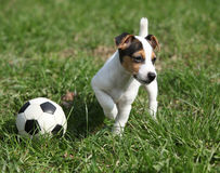Jack russell terrier puppy playing. With a ball on the grass stock images
