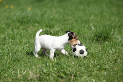 Jack russell terrier puppy playing. With a ball on the grass royalty free stock photography