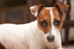 Jack Russell Terrier Puppy Portrait Royalty Free Stock Photo