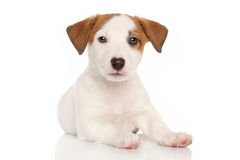 Jack russell terrier puppy Stock Images