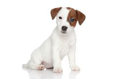 Jack Russell terrier puppy portrait stock images