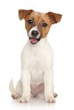 Jack Russell terrier puppy. Portrait on white background Royalty Free Stock Image