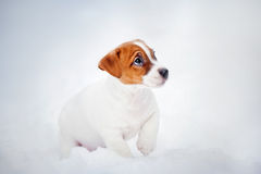 Jack Russell Terrier puppy, portrait in winter Royalty Free Stock Image