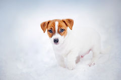 Jack Russell Terrier puppy, portrait in winter Stock Image