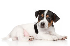 Jack Russell terrier puppy. Posing on white background stock photo