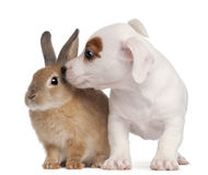 Jack Russell Terrier puppy and a rabbit Royalty Free Stock Image
