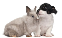 Jack Russell Terrier puppy and a rabbit Stock Photo