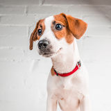 Jack Russell Terrier puppy in red collar standing on a chair on a white background Royalty Free Stock Image
