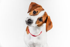 Jack Russell Terrier puppy in red collar standing on a chair on a white background Royalty Free Stock Photography