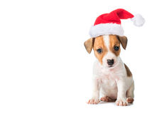Jack Russell Terrier puppy in red santa cap Royalty Free Stock Photo