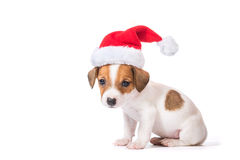 Jack Russell Terrier puppy in red santa cap Royalty Free Stock Image