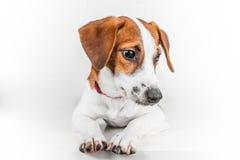 Jack Russell Terrier-puppy in rode kraag die zich op een stoel op een witte achtergrond bevinden Stock Afbeeldingen