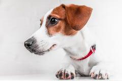 Jack Russell Terrier-puppy in rode kraag die zich op een stoel op een witte achtergrond bevinden Royalty-vrije Stock Afbeelding