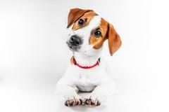 Jack Russell Terrier-puppy in rode kraag die zich op een stoel op een witte achtergrond bevinden Royalty-vrije Stock Foto