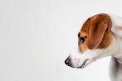 Jack Russell Terrier-puppy in rode kraag die zich op een stoel op een witte achtergrond bevinden Royalty-vrije Stock Foto's