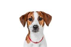 Jack Russell Terrier-puppy in rode kraag die zich op een stoel op een witte achtergrond bevinden Royalty-vrije Stock Fotografie