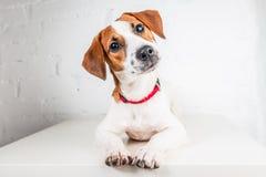 Jack Russell Terrier-puppy in rode kraag die zich op een stoel op een witte achtergrond bevinden Stock Fotografie