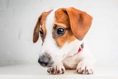 Jack Russell Terrier-puppy in rode kraag die zich op een stoel op een witte achtergrond bevinden Stock Afbeelding