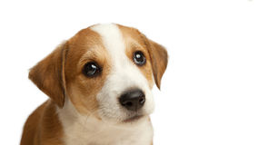 Jack Russell Terrier puppy sad pleading look isolate on white.  royalty free stock image