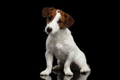 Jack Russell Terrier Puppy Sits lindo en el espejo, mirando la cámara imagenes de archivo