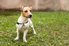 Jack russell terrier puppy standing on grass stock photo