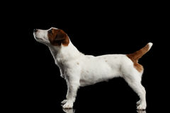 Jack Russell Terrier Puppy Standing on Mirror and Looking up Royalty Free Stock Photo