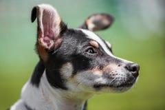 Jack Russell Terrier Puppy stellen Porträt mit den gekräuselten Ohren gegenüber lizenzfreie stockfotos