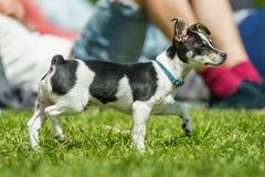Jack Russell Terrier Puppy-Stellung auf Gras mit den gekräuselten Ohren stockbilder