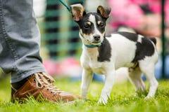 Jack Russell Terrier Puppy-Stellung auf Gras mit den gekräuselten Ohren mit Inhaberfuß stockfotos