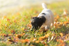 Curious Jack Russell puppy is following a track in autumn leaves stock photos