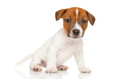Jack Russell Terrier puppy on white background. Cute Jack Russell Terrier puppy sits on white background Royalty Free Stock Image