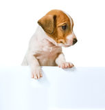 Jack Russell Terrier puppy  on white background Royalty Free Stock Photos