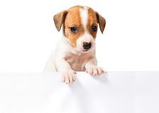 Jack Russell Terrier puppy  on white background Royalty Free Stock Photography