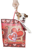 Jack Russell terrier puppy Royalty Free Stock Photography