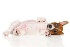 Jack Russell Terrier puppy on white royalty free stock photography