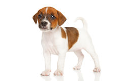 Jack Russell terrier puppy on white Royalty Free Stock Photos