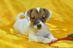 Jack Russell Terrier puppy. On a yellow background with beads stock image