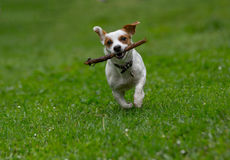 Jack Russell terrier pursuing and catching stick playing on gree Royalty Free Stock Photos