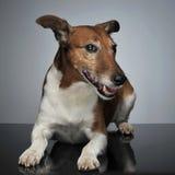 Jack Russell Terrier que encontra-se na tabela no estúdio Fotos de Stock