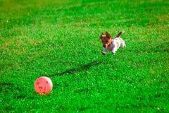 Jack Russell Terrier que joga com uma bola Fotografia de Stock Royalty Free