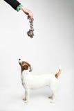 Jack Russell Terrier que olha a acima Fotos de Stock