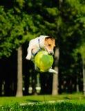 Jack Russell Terrier que salta com crepúsculo do voo (o salto agrupado) foto de stock