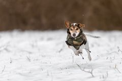 Jack Russell Terrier race over a snow-covered meadow and have a coat to protect against cold royalty free stock photography