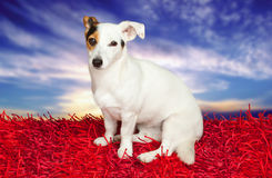 Jack russell terrier on a red carpet Stock Images